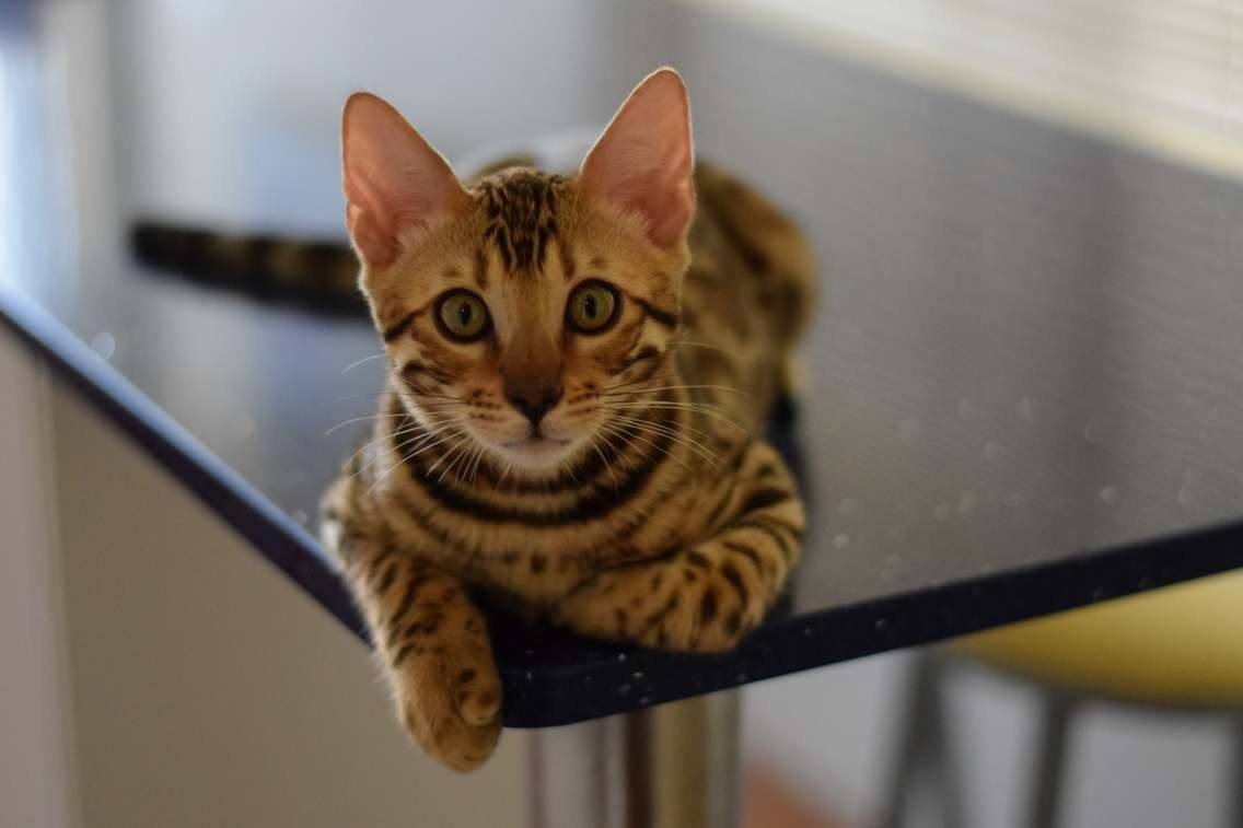 beautiful-bengal-kittens