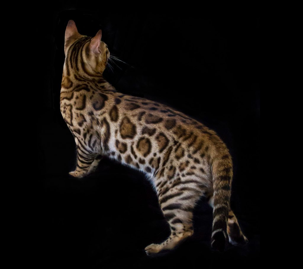 bengal-cat-breeder-best-canberra