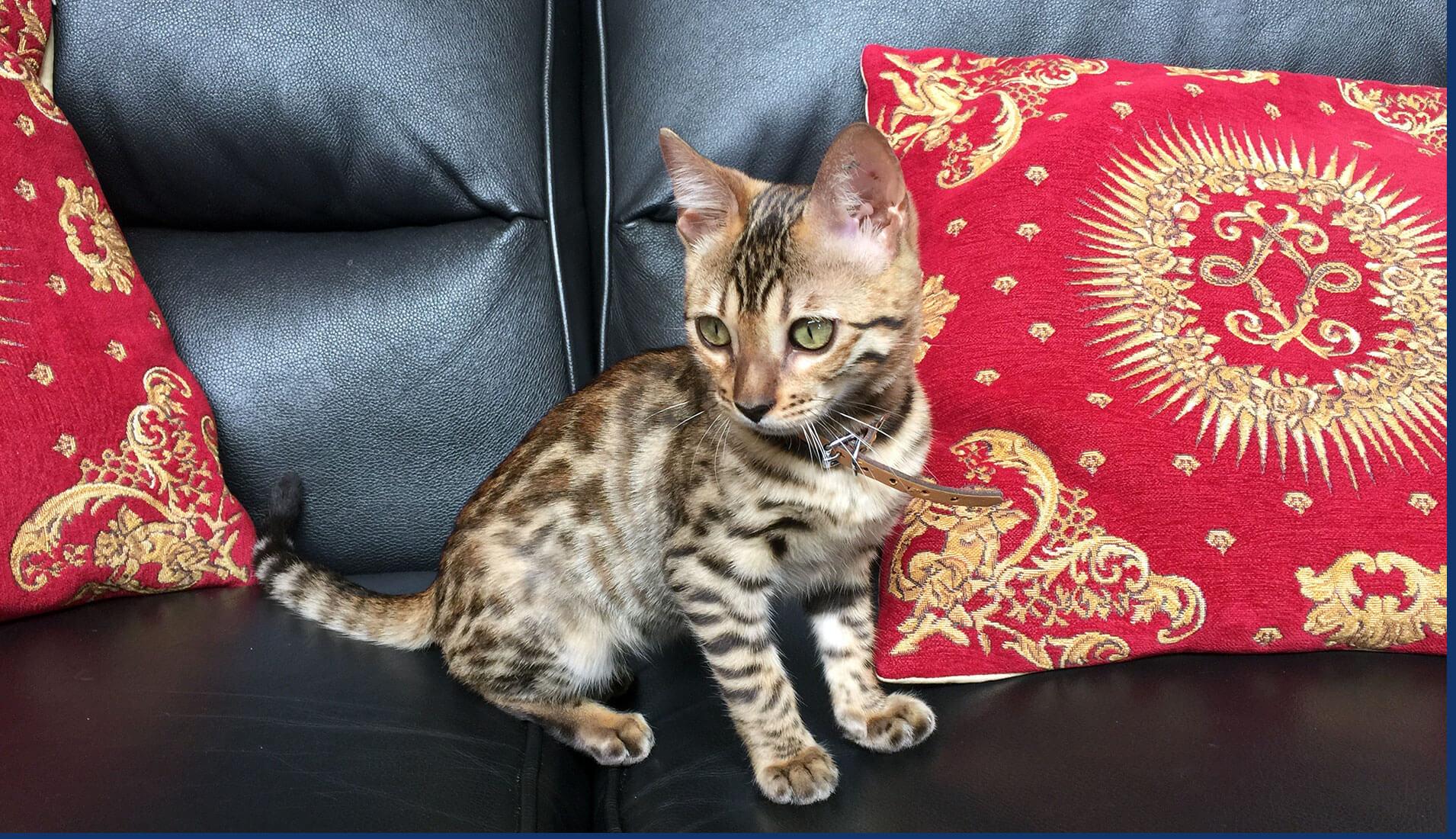 jabring-bengal-cats-australia-kittens