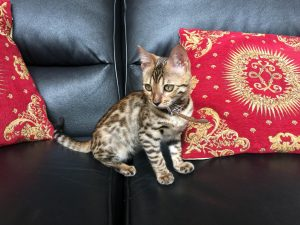 baby-bengal-kittens-canberra