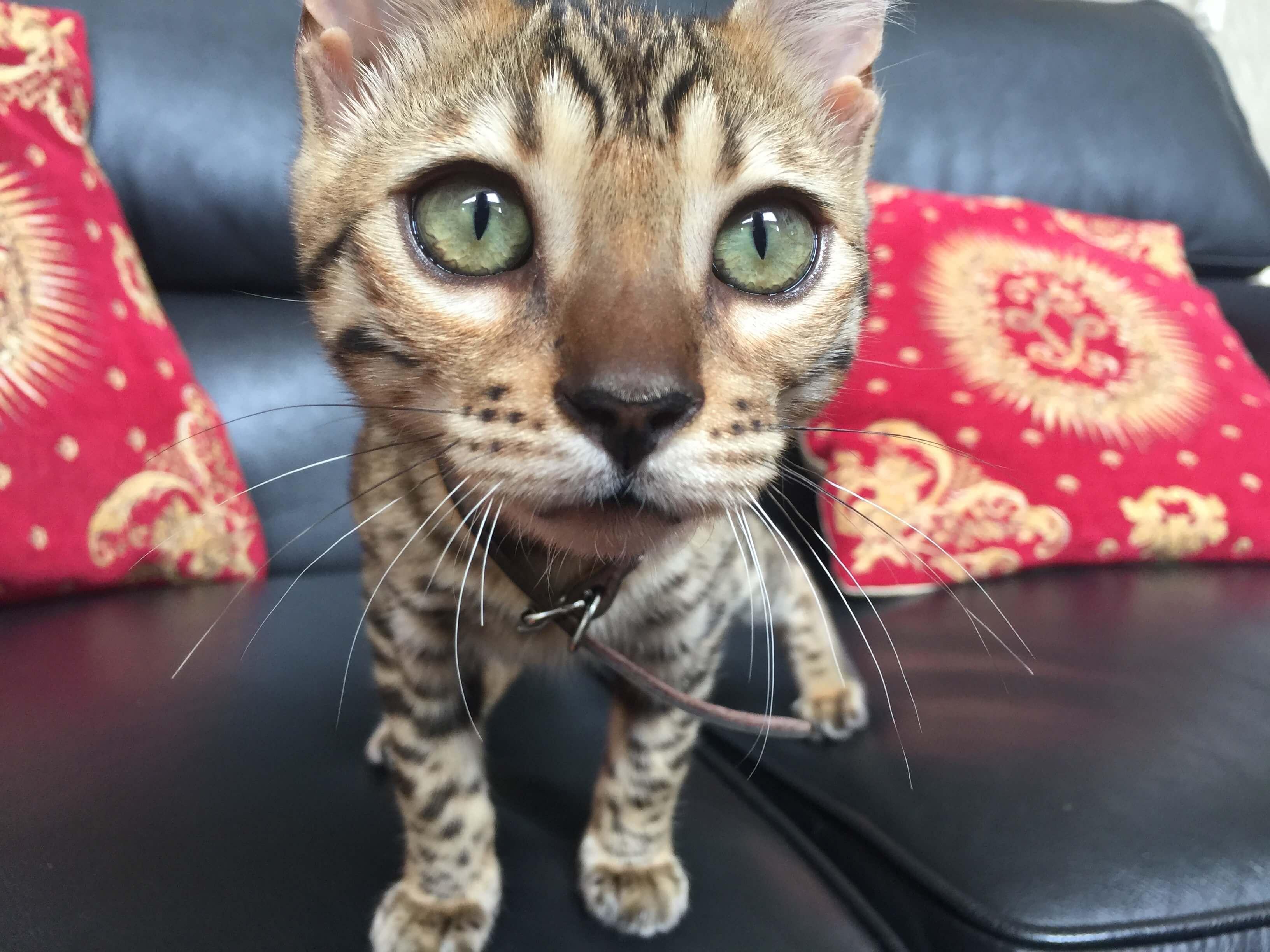 bengal-kitten-premium-breeder-australia