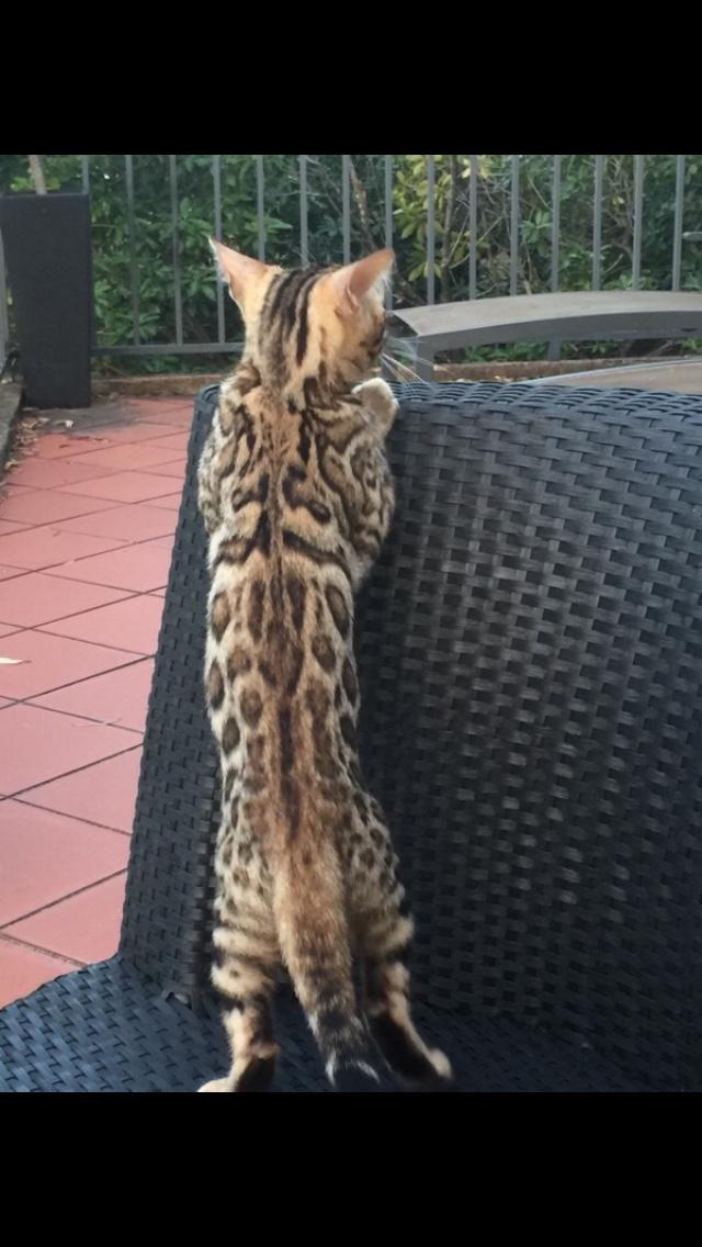 bengal-kitten