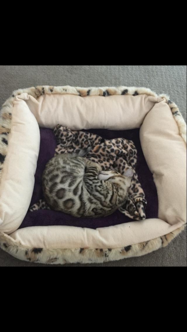 bengal-kitten-sleep