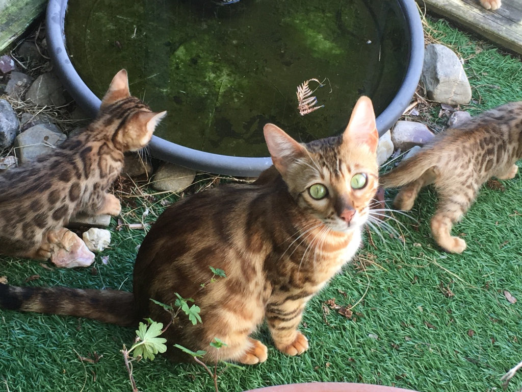 cute-Bengal-kitten-for-sale-canberra-act