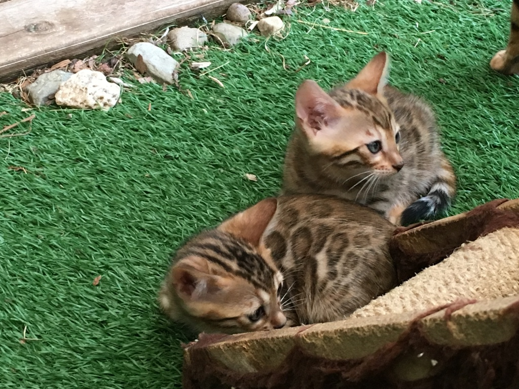 Bengal-kitten-for-sale-canberra-act