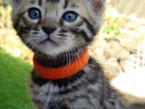 bengal-premium-kitten-breeder-australia-cat