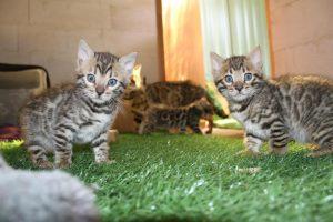 bengal-premium-kitten-breeder-canberra