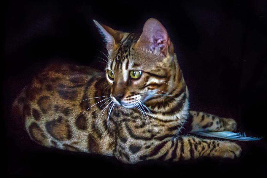 bengal-cat-breeder-best-australia