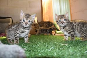 bengal-kittens-3-300x199